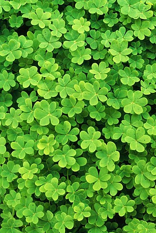 Redwood sorrel is a plant native to California.