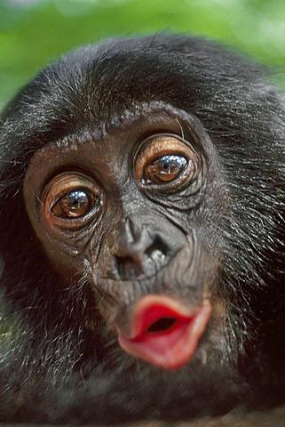 Bonobos live in the rainforests of the Democratic Republic of Congo.