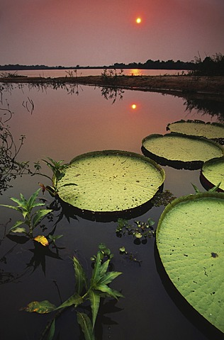 Giant water lilies at sunset, Victoria regia, Paraguay River, Pantanal, Brazil, Paraguay River, Pantanal, Brazil