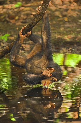 Chimpanzee infant interacting with her reflection in waterhole, Pan troglodytes verus, Fongoli, Senegal
