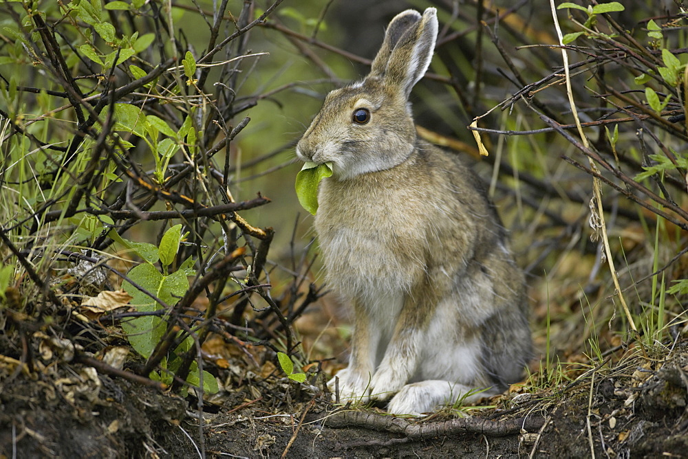 Snowshoe hare, Arctic National Wildlife Refuge, Alaska, Arctic National Wildlife Refuge, Alaska, USA