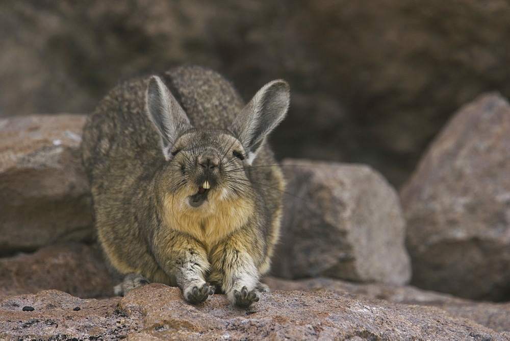 A mountain viscacha yawns as he stretches his front legs on the Salar de Uyuni, Salar de Uyuni, Bolivia
