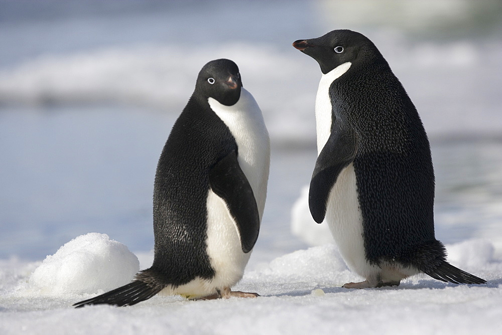 A pair of Adelie penguins in the late afternoon light in Antarctica, Antarctica