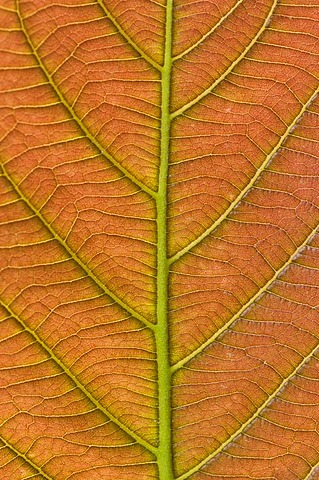 Leaf detail, Niokolo-Koba National Park, Senegal
