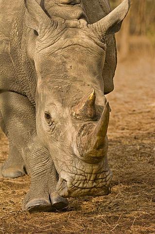 White rhinoceros walking, Ceratotherium simum, Bandia Reserve, Senegal