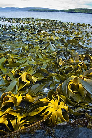 Bull kelp, Durvillaea sp, Auckland Island, New Zealand