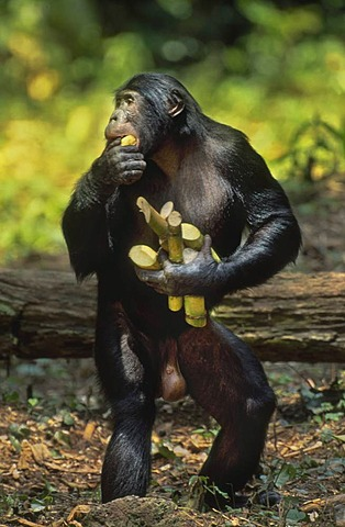 Bonobo male gathering sugar cane, Pan paniscus, Wamba, Congo, DRC, Democratic Republic of the Congo