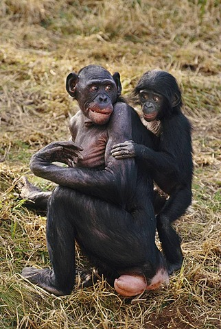 Bonobo female with infant, Pan paniscus, Native to Congo, DRC, Democratic Republic of the Congo