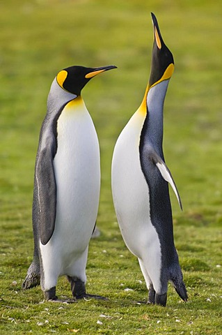 King penguins courting, Aptenodytes patagonicus, Falkland Islands