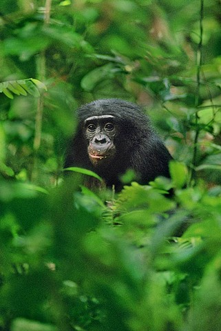 Bonobo in undergrowth, Pan paniscus, Congo, DRC, Democratic Republic of the Congo