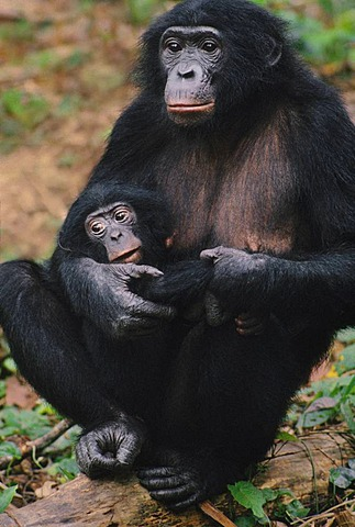 Bonobo mother with infant, Pan paniscus, Congo, DRC, Democratic Republic of the Congo