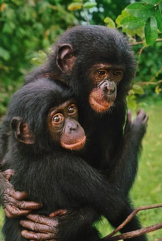 Orphaned bonobos embracing, Pan paniscus, Congo, DRC, Democratic Republic of the Congo