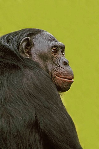 Adult male bonobo, Pan paniscus, Native to Congo, DRC, Democratic Republic of the Congo