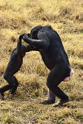 Bonobo female playing with infant, Pan paniscus, Native to Congo, DRC, Democratic Republic of the Congo