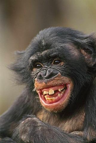 Bonobo laughing, Pan paniscus, Congo, DRC, Democratic Republic of the Congo