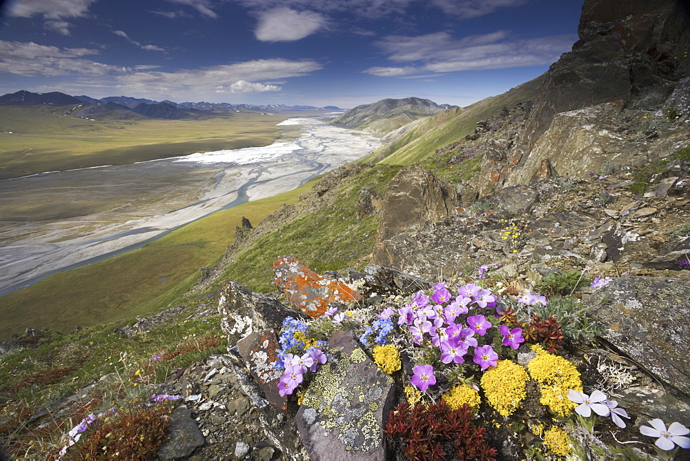 Hardy arctic wildflowers grow only a few inches high in order to reduce exposure to the moisture-robbing winds, Arctic National Wildlife Refuge, Arctic National Wildlife Refuge, Brooks Range, Alaska, USA