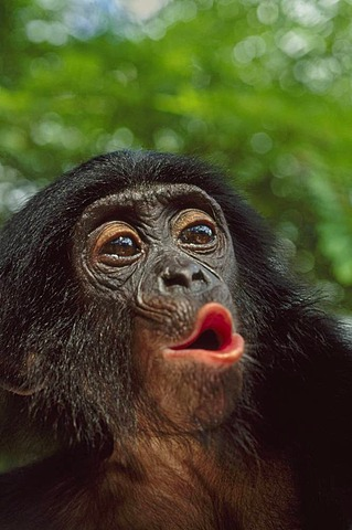 Bonobo juvenile pouting, Pan paniscus, Congo, DRC, Democratic Republic of the Congo