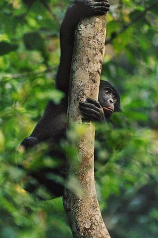 Bonobo in tree, Pan paniscus, Congo, DRC, Democratic Republic of the Congo