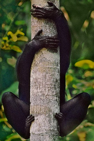 Bonobo in tree, Pan paniscus, Congo, DRC, Democratic Republic of the Congo