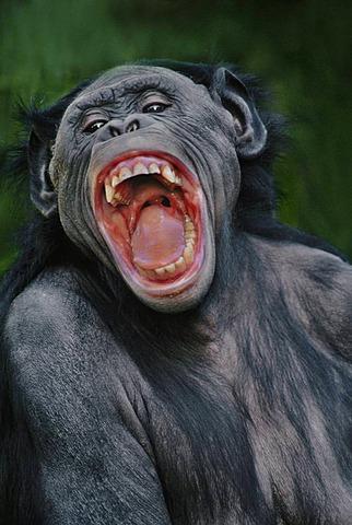 Bonobo female snarling, Pan paniscus, Native to Congo, DRC, Democratic Republic of the Congo