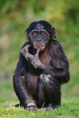 Bonobo juvenile, Pan paniscus, Native to Congo, DRC, Democratic Republic of the Congo