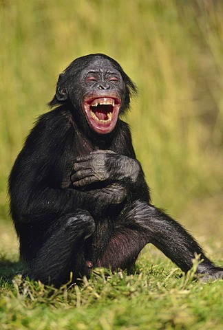 Bonobo juvenile laughing, Pan paniscus, Native to Congo, DRC, Democratic Republic of the Congo