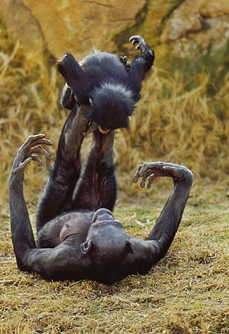 Female bonobo playing with infant, Pan paniscus, Native to Congo, DRC, Democratic Republic of the Congo