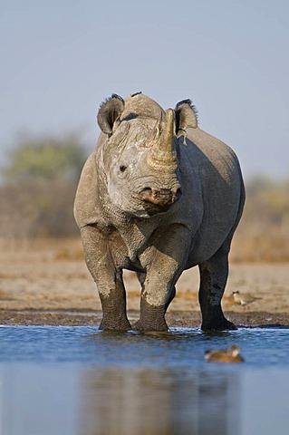 Black rhino at waterhole, Diceros bicornis, Etosha National Park, Namibia