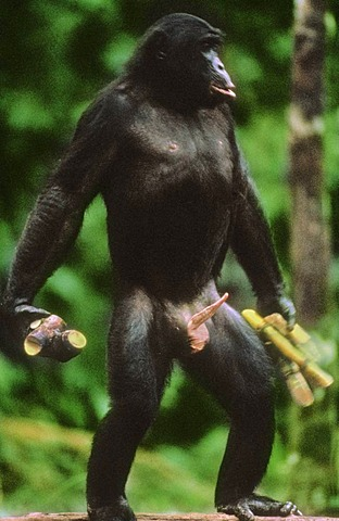 Bonobo male with sugarcane soliciting sex, Pan paniscus, Congo, DRC, Democratic Republic of the Congo