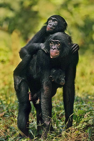 Bonobo mother with two infants, Pan Paniscus, Congo, DRC, Democratic Republic of the Congo