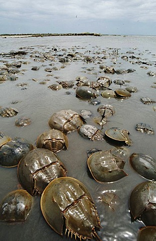 Mass spawning of horseshoe crabs, Limulus polyphemus, Delaware Bay, New Jersey, USA