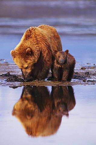Brown bear mother and cub digging for clams, Ursus arctos, Southeast Alaska