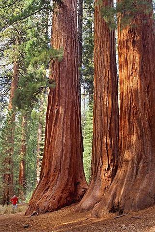 Giant sequoia grove, Sequoiadendron giganteum, Yosemite National Park, California
