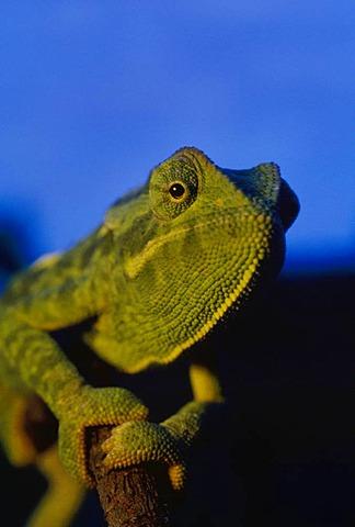 Jackson's chameleon, Chamaeleo jacksonii, Kenya