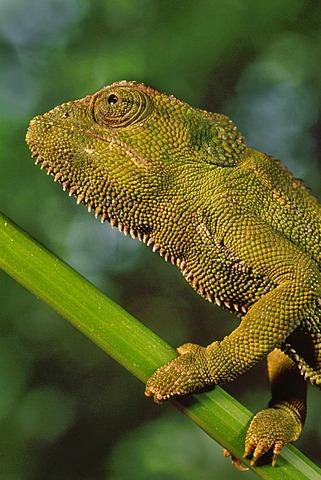 Jackson's chameleon, Chamaeleo jacksonii, Nairobi National Park, Kenya