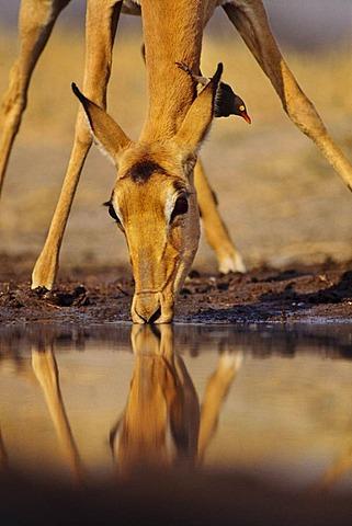 Impala, Aepyceros melampus, drinking with red-bellied oxpecker on neck, Buphagus erythrorhynchus, Okavango Delta, Botswana