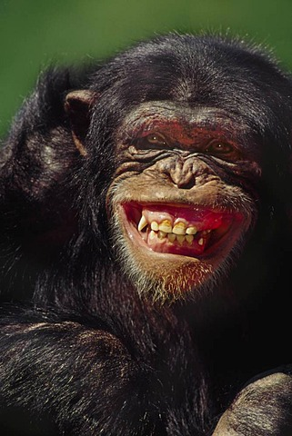 Chimpanzee grimacing, Pan troglodytes, Native to Central Africa