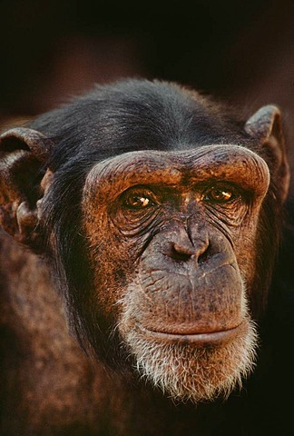 Chimpanzee, Pan troglodytes, native to Central Africa