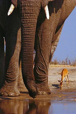 African elephants, Loxodonta africana, and impala, Aepyceros melampus, Chobe National Park, Botswana