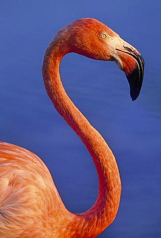 Lesser flamingo, Phoenicopterus minor, Native to Kenya