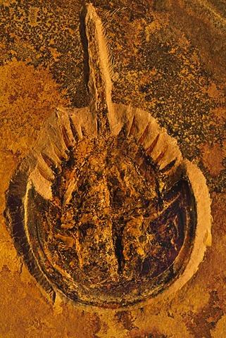 Fossil horseshoe crab, Solnhofen, Germany