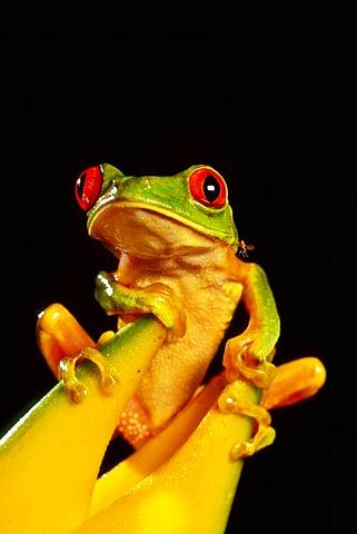 Red-eyed tree frog, Agalychnis callidryas, Belize