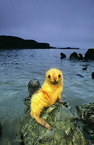 Antarctic fur seal pup, blond morph, Arctocephalus gazella, South Georgia Island