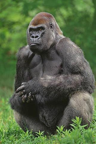 Lowland gorilla male, Gorilla gorilla, Native to Congo, DRC, Democratic Republic of the Congo
