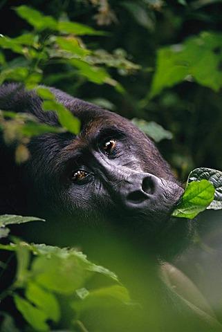 Eastern lowland gorilla, Gorilla gorilla graueri, Kahuzi Biega National Park, Congo, DRC, Democratic Republic of the Congo
