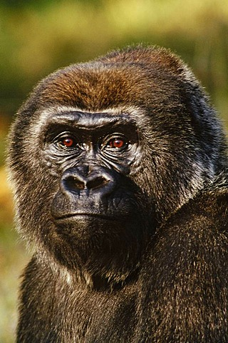 Lowland female gorilla, Gorilla gorilla, Native to Congo, DRC, Democratic Republic of the Congo