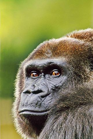 Lowland gorilla, Gorilla gorilla, Native to Native to Congo, DRC, Democratic Republic of the Congo