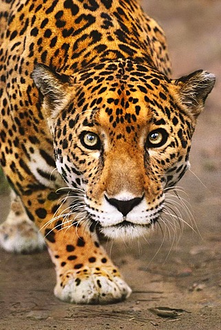 Jaguar stalking, Panthera onca, Belize