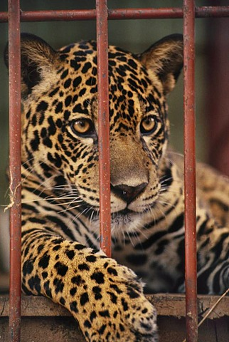 Jaguar behind bars, Panthera onca, Surinam