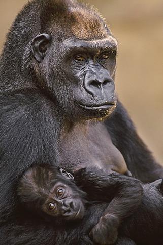 Gorilla mother and baby, Gorilla gorilla, Atlanta Zoo, Georgia, Atlanta Zoo, Georgia, USA